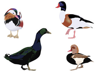 four different breeds of ducks