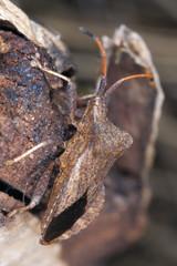 Stink bug. Extreme close up.