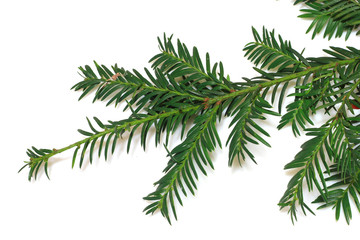 ramo di pino