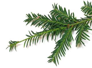 ramo di pino 4