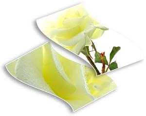 roses ivoire feuilles volantes cadre image fond blanc
