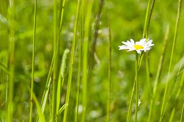 Camomile in a green grass