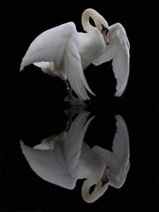 Foto op Canvas Zwaan A mute swan reflected