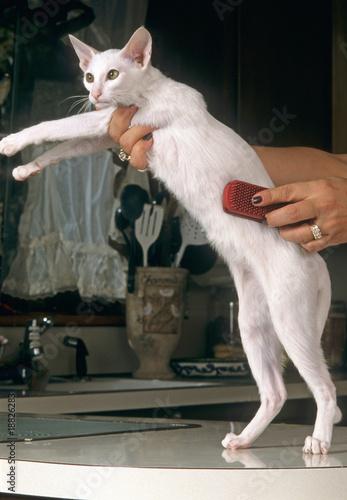 toilettage d 39 un chat oriental blanc pour enlever poil mort photo libre de droits sur la banque. Black Bedroom Furniture Sets. Home Design Ideas
