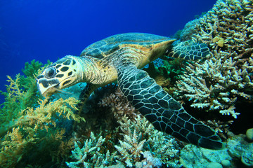 Hawksbill Turtle feeding on a coral reef