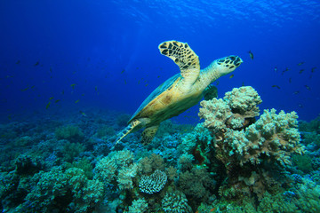 Coral reef and Hawksbill Sea Turtle