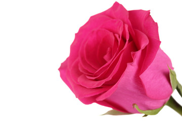 Pink rose close up on the white isolated background