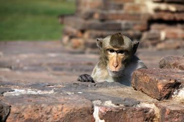singe sur un mur en pierre