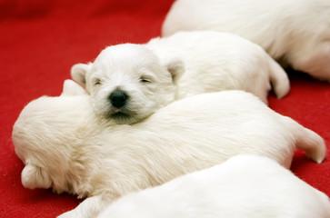 Little Sleeping Puppies