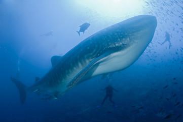 Requin baleine dans le bleu avec des plongeurs