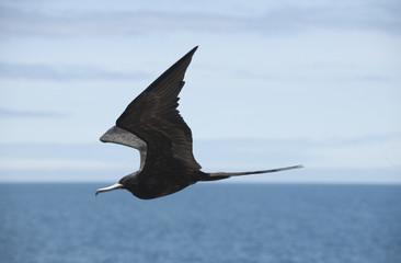Oiseau en vol, frégate des Galápagos