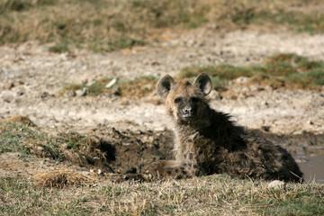 Hyena - Ngorongoro Crater, Tanzania, Africa