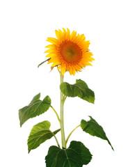 beautiful yellow Sunflower isolated over white
