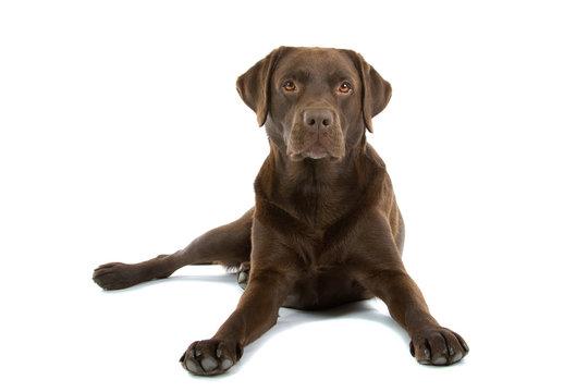 20 503 Best Chocolate Labrador Images Stock Photos Vectors Adobe Stock