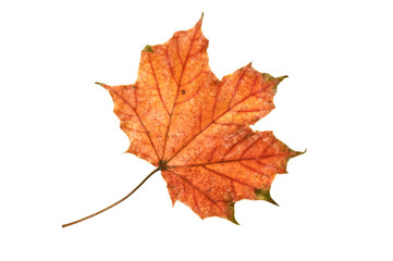 Autumn maple leaf..