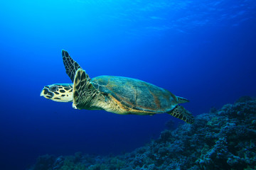 Turtle swims over coral reef