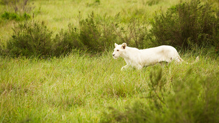 white lion in savanna