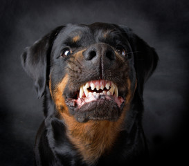 Dog of breed rottweiler.