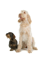 "Wire-haired dachshund, ""sausage dog"" and a Spinone Italiano"
