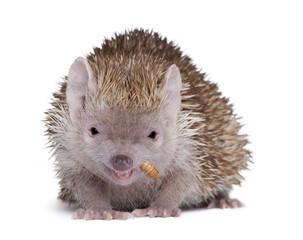 Lesser Hedgehog Tenrec in front of white background