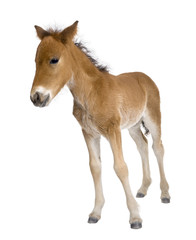 Portrait of foal, standing in front of white background