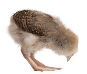 Chick, 13 days old, bending over in front of white background