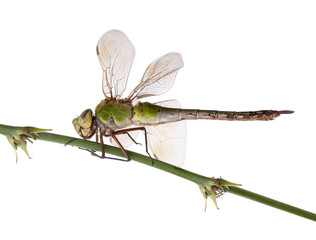 Old Emperor dragonfly, in front of white background