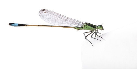 Dragonfly, Coenagrionidae, in front of white background
