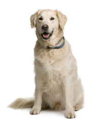 Golden retriever, sitting in front of white background