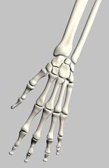 hand skeleton