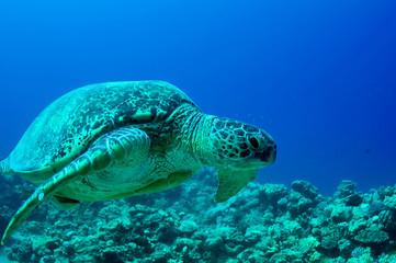 sea green turtle