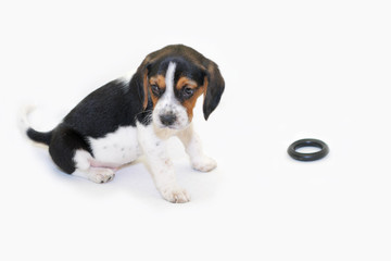 Tri-colored beagle puppy sitting isolated on white background