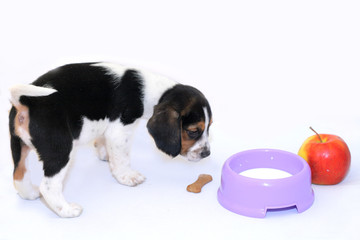 Cute tri-colored beagle puppy drinks milk from the blue cup