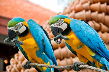 Two blue parrots