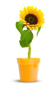 une fleur de tournesol en pot couleur tournesols, design floral
