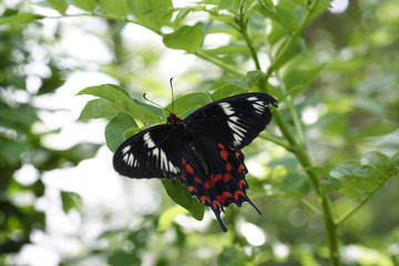 Beautiful Black Butterfly on Leaves