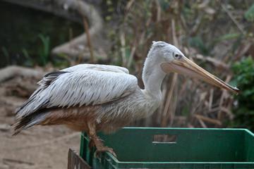 Pellicano Mangiando - Pelecanus Onocrotalus