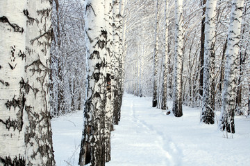 Wall Mural - small path in winter birch wood