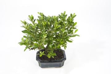 bonsai azalée