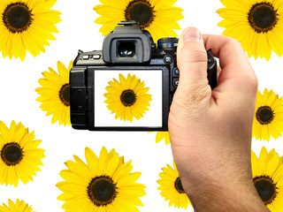 Dslr photographing of sunflowers
