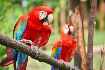 Stores à enrouleur Perroquets Parrots: scarlet macaw (ara macao)