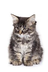 Beautiful Maine Coon kitten