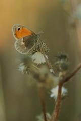 papillon procris