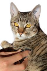 auscultation du chat