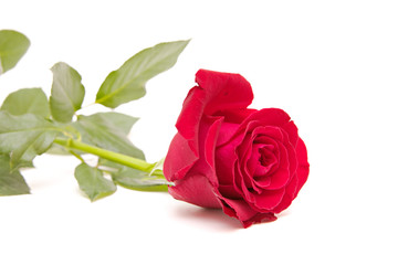 red rose isolated on white. valentine's day