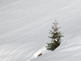 Fichte allein im Schnee