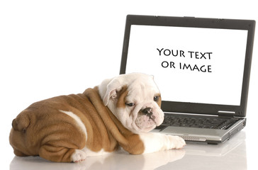 english bulldog puppy working on computer