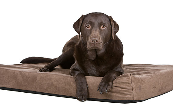Handsome Chocolate Labrador on His Memory Foam Bed. Comfy!