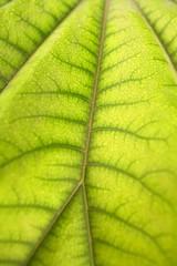 Aralia papirifera macro leaf detail Araliaceae China