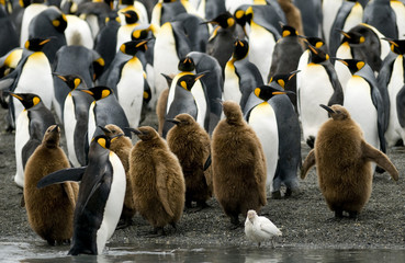King Penguins at the Water's Edge